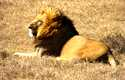 Kidnapped girl 'rescued' by lions