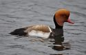 A red-crested pochard