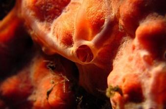 The Spirastrella sponge