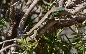 A lizard in the Garden of Olives