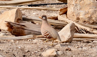 The Israeli sand partridge