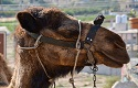 Dromedary camels and tourists in the Holy Land