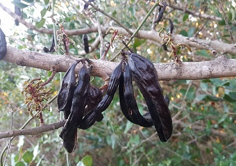 The carob tree