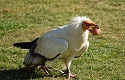 The Egyptian vulture in the Bible