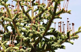 The hybridization of the Spanish fir