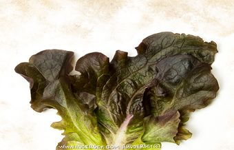The mistery of the Bermuda lettuces