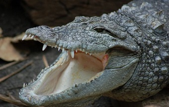 Nile crocodiles in Israel