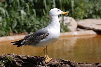 Seagulls, sky rats?