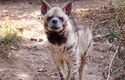 The hyena's laughter