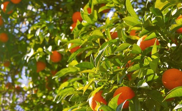 oranges, oranges tree, naranajas, árbol, valencia