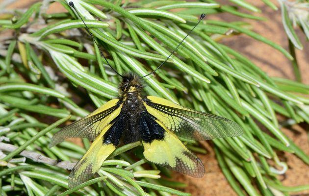 Libelloides cunii